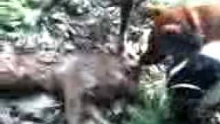 裏山でウリボウを見つけた琉球犬達は 自然の掟通りの行動でした。 小さ...