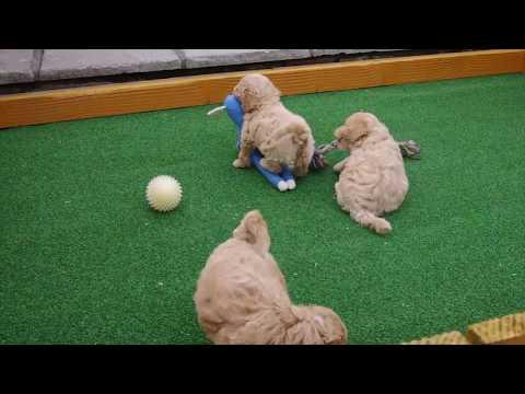 Poochon Pups For Sale.