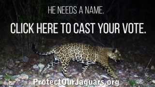 Vote Here: Say This Jaguar's Name -- Destiny's Child -- HD