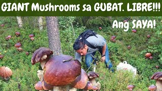 LIBRENG Mushrooms sa GUBAT! MUSHROOM PICKING!  Foraging! SUPERFOOD!