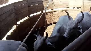 Embarque e desembarque. Gado para abate. #Massa bruta vídeos. Caminhão boiadeiro.