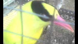 Video burung kepodang andaLanku.avi download MP3, 3GP, MP4, WEBM, AVI, FLV Maret 2018