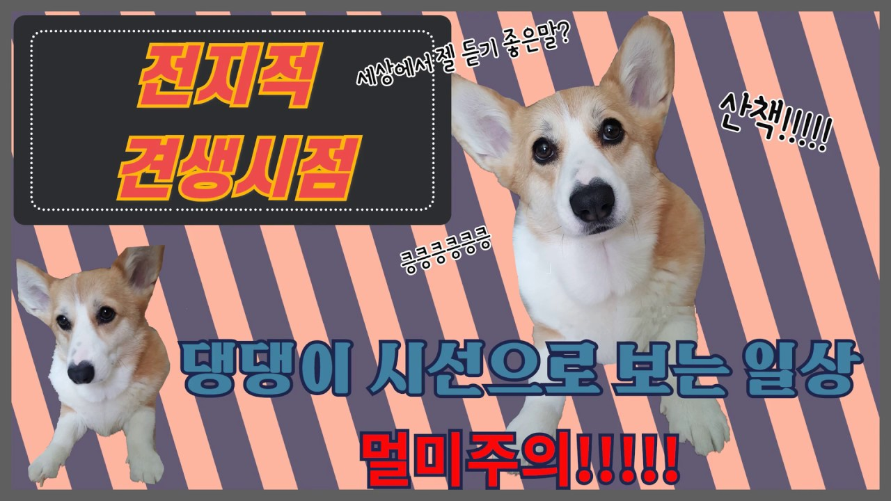 웰시코기 알콩 | EP13. 전지적견생시점 | 액션캠으로 보는 강아지 시선 | welshcorgi | 강아지 시점 | 강아지 액션캠 | 웰시코기