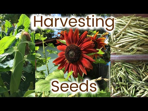 RAW VEGAN in ALASKA:  how I harvest & plant FREE seeds from my garden