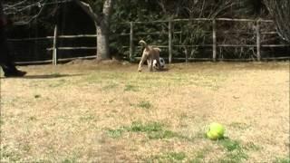 スパニッシュマシチフ(大型犬)のブリーダー http://www.masaki-collec...