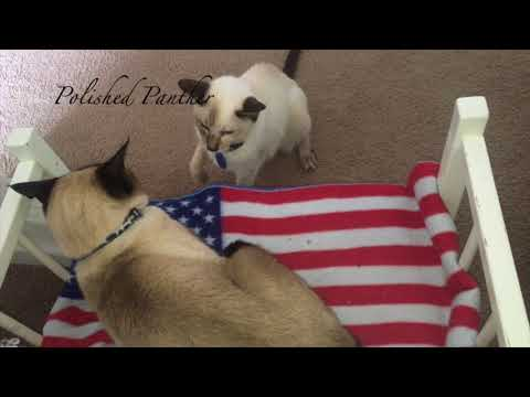 Whatever Wednesday Siamese Cat Fight Over Crib