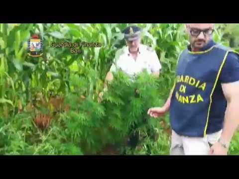 Guardia di finanza sequestra piantagione marijuana