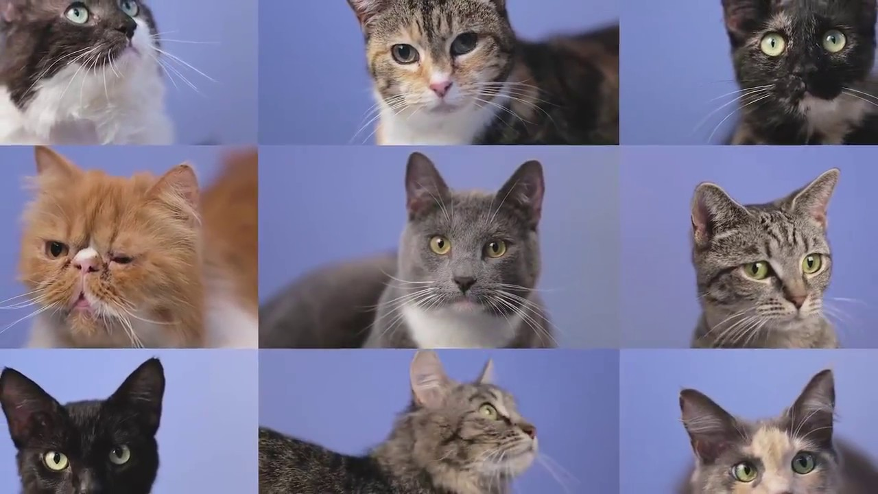 Adopt a Cat from the RSPCA