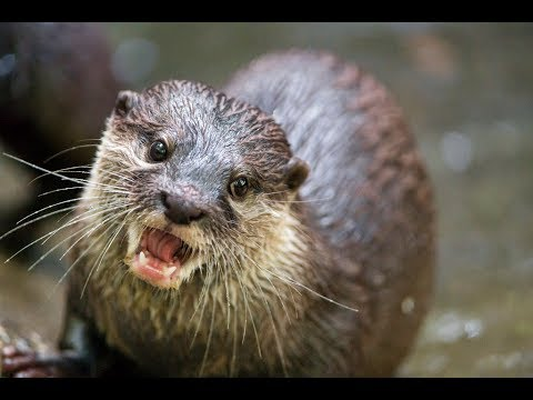 How To Get A Pet Otter (Realistically)
