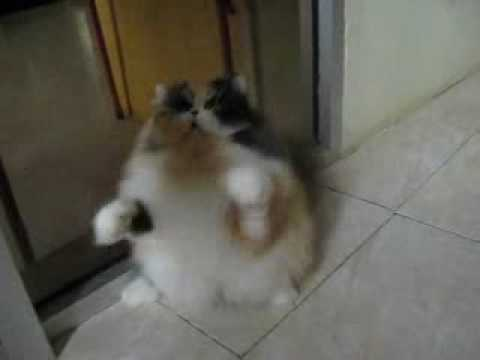 Miss Masyikama, calico persian cat - YouTube