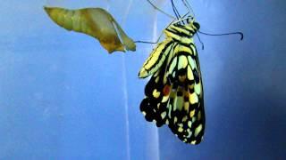 花鳳蝶(無尾鳳蝶Papilio demoleus)羽化.