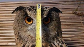 Полметровая сова. Сколько метров вышины в филине?