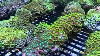 Vietnam Corals & Anemone Shipment 5/7/2013
