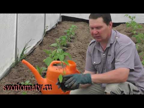 Как высадить рассаду перцев, чтобы она быстро прижилась
