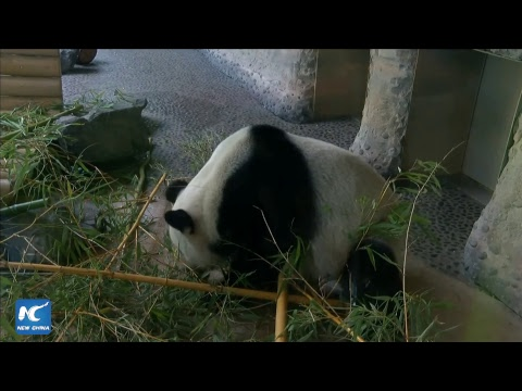 LIVE: Breakfast time for Berlin pandas Jiao Qing and Meng Meng