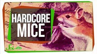 Hardcore Mice use Scorpion Venom as a Painkiller