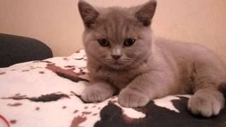 Британский лиловый котёнок Латте, возраст 3 месяца