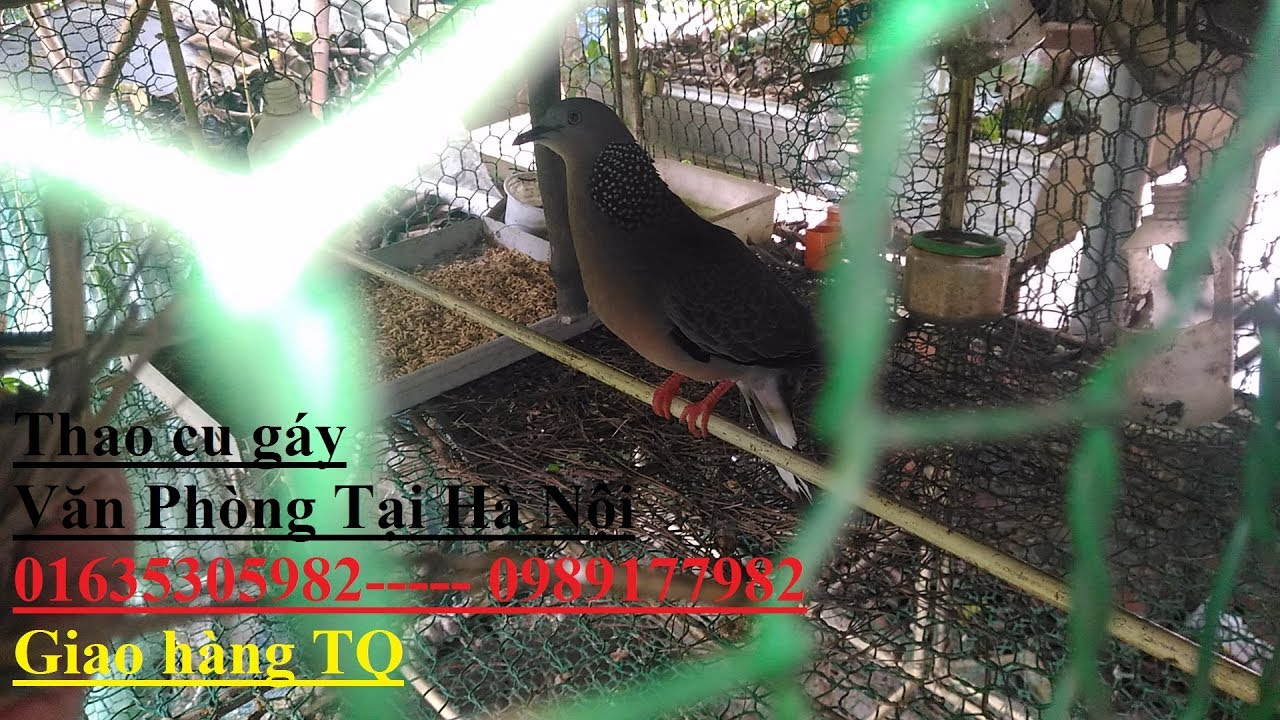 27 phút Bí Mật về cách nuôi Chim cu gáy sinh sản  vừa làm cu khách luôn Youtube  01635305982