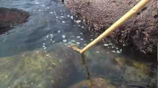 ひっこくり大作戦!静岡 伊豆稲取 Crab Miso Soup after Crabbing JAPAN thumbnail
