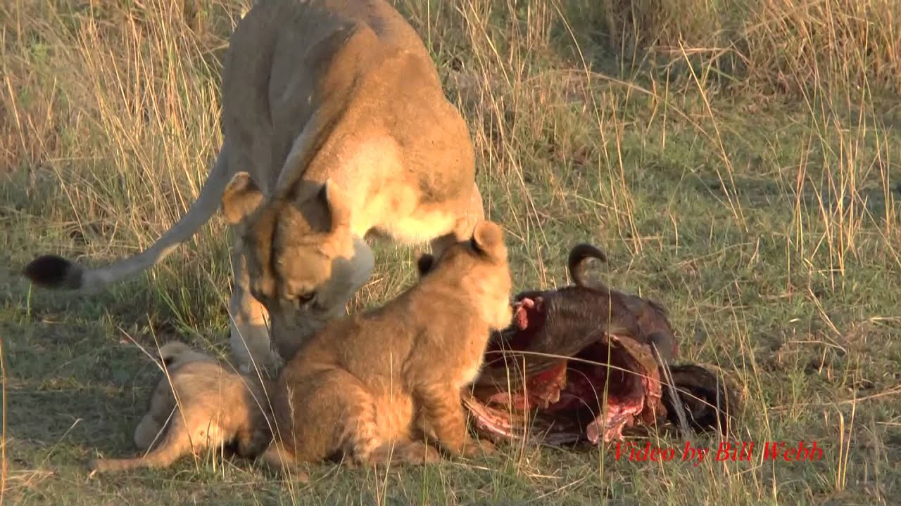 Lion Cubs And Mothers Playing And Eating Get Interrupted