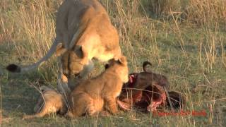 Lion cubs and mothers, playing and eating, get interrupted by Daddy