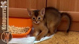 Абиссинский котенок играет [kotopurrs]
