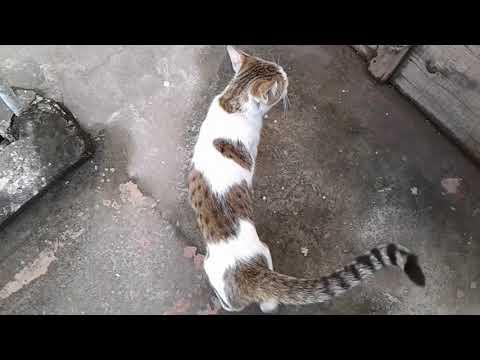 Sissy My New Female Cat American Shorthair