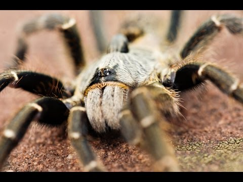 Giant Spiders and other Creepy Crawlies of South Africa - CrittaCam