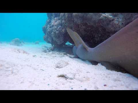 Shark Parasite