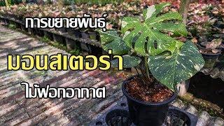 การขยายพันธุ์ มอนสเตอร่า ไม้ฟอกอากาศ สวนลุงช้อย ฟิโลเดนดรอน Philodendron