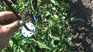 Подвязка помидоров, перцев и т.п. в открытом грунте