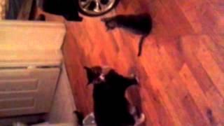 Cat run from fight