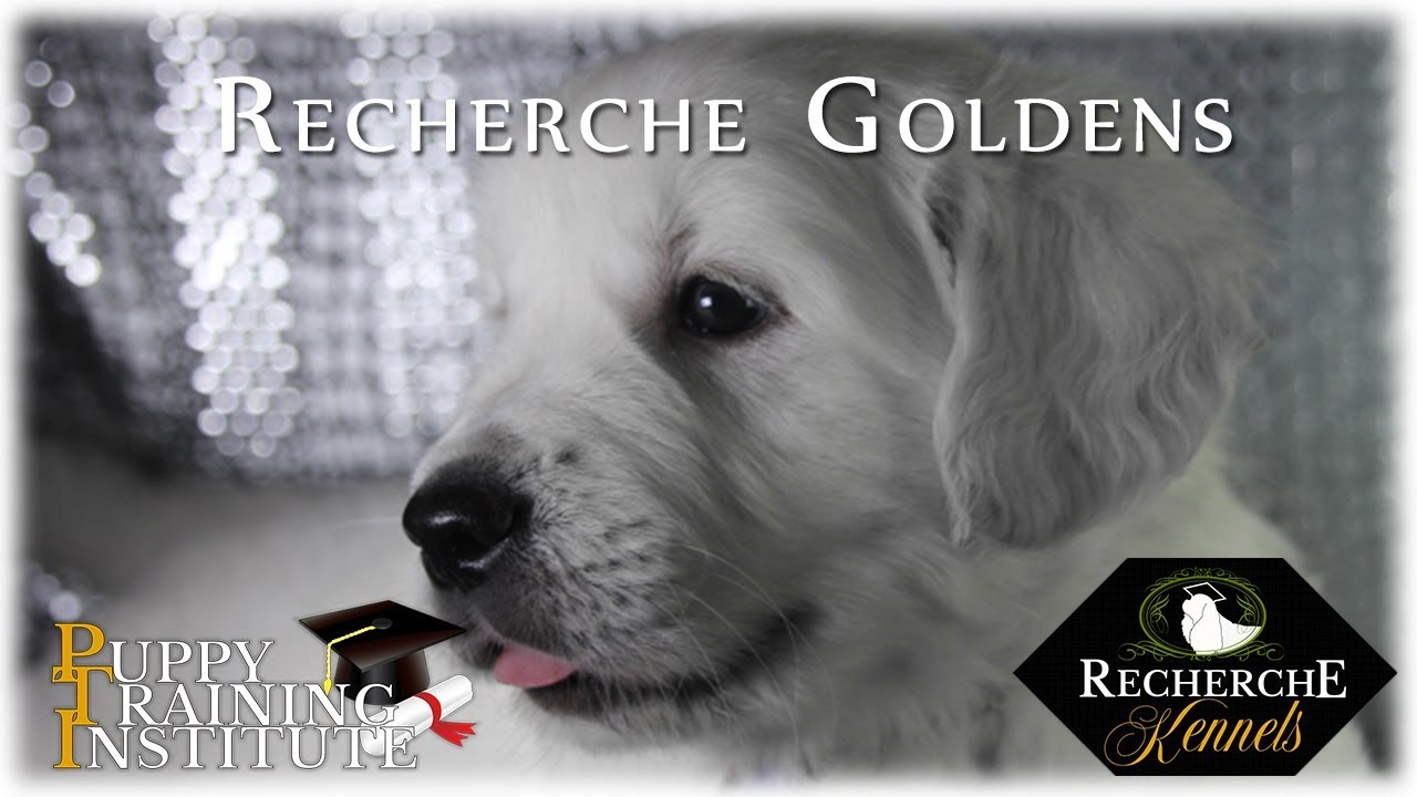 Beautiful Trained English Cream Golden Retriever Puppies