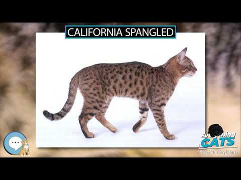 California Spangled 🐱🦁🐯 EVERYTHING CATS 🐯🦁🐱