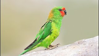10 Most Beautiful Lorikeets on Planet Earth - Part 2