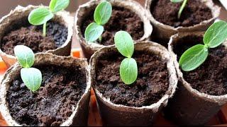 Выращивание рассады огурцов в домашних условиях(Как вырастить рассаду огурца в домашних условиях, чем подкармливать, как поливать, когда сеять., 2015-04-29T14:52:49.000Z)