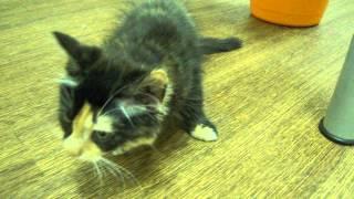 Отравление акаромектином у котенка