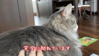 家族旅行中、一匹留守番をされられて皆が帰ってきてもしばらく拗ねていた猫 ノルウェージャンフォレストキャット A cat who was alone in an answering machine
