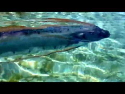 Rare oarfish sighting