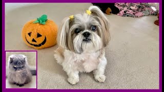 What was Lacey up to? 🤔 | Lexi Blue Persian cat | Shih Tzu dog treats 🍖🐾