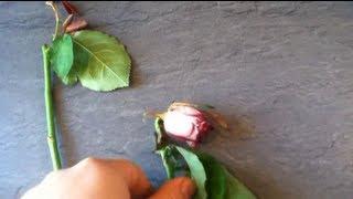 Schnittrosen im Garten einpflanzen (Gartenrose)