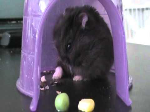 Fat Black Dwarf Hamster - YouTube  Fat Black Dwarf...