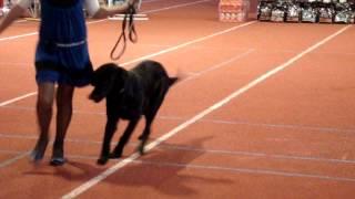 Выставка собак кинополь караганда 20.10.2013