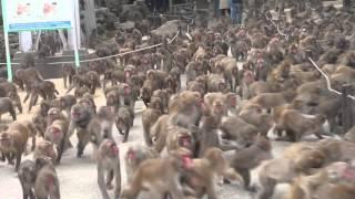大分の高崎山のお猿さんのご飯は1日2回。 みんな食べられるのかな?