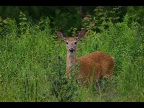 DEER Staring Contest - Very Peaceful