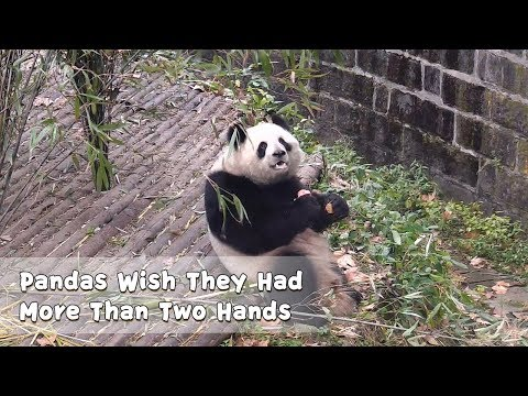 Pandas Wish They Had More Than Two Hands | iPanda