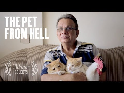 The Pet Chicken 'From Hell'