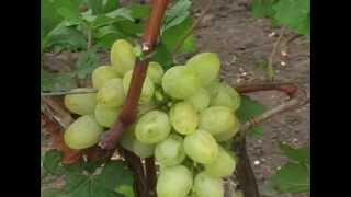 видео Экскурсия на виноградники