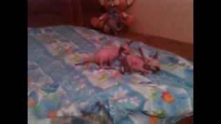 Котята Петерболды 45 дней