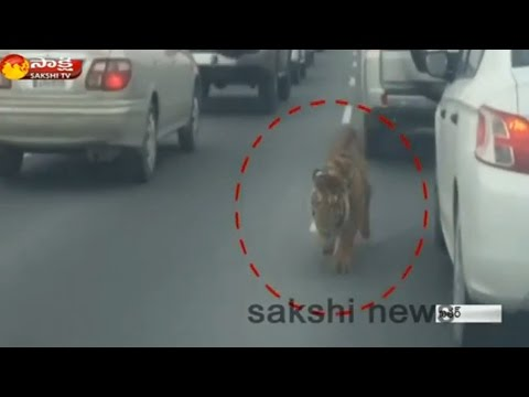 Tiger spotted dodging traffic on busy road in Doha: Watch Exclusive